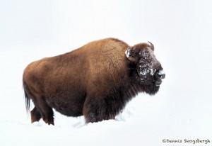 2555 Yellowstone Bison