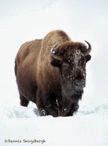 2556 Yellowstone Bison