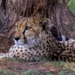 2580 Cheetah (Acinonyx jubatus)