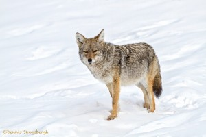 4391 Coyote (Canis latrans), Yellowstone NP
