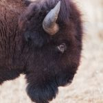 6128 Bison, Wichita Falls National Wildlife Refuge, Lawton, OK