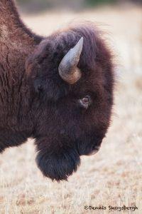 6128 Bison, Wichita Falls National Wildlife Refuge, Lawton, OK