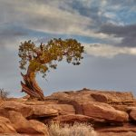 7274 Utah Pine Tree, Dead Horse Point State Park, UT