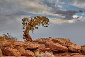 7274 Utah Pine Tree, Dead Horse Point State Park, UT