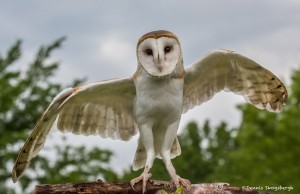2546 Barn Owl (Tyto alba)