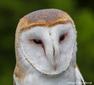 2548 Barn Owl (Tyto alba)