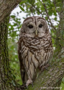 2551 Barred Owl (Strix varia)