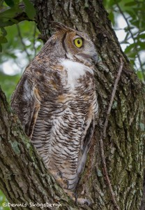 2579 Great Horned Owl (Bubo virginianus)