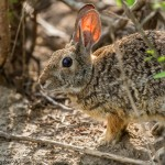 2594 Cottontail Rabbit