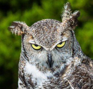 5135 Great Horned Owl, Texas
