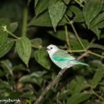 4421 Blue-gray Tanager (Thraupis episcopus), Laguna del Lagarto, Costa Rica