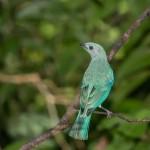 4423 Blue-gray Tanager (Thraupis episcopus), Laguna del Lagarto, Costa Rica