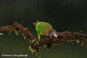 6142 Brown-hooded Parrot (Pionopsitta haematotis), Laguna del Lagarto Lodge, Costa Rica