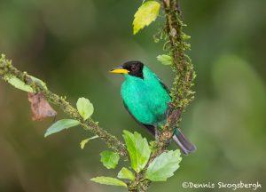 6145 Green Honeycreeper (Chlorophanes spiza), Laguna del Lagarto, Costa Rica