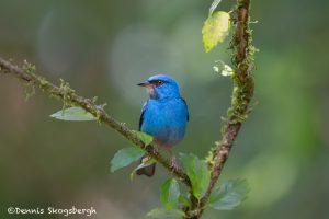 6147 Male Blue Dacnis (Dacnis cayana), Laguna del Largarto, Costa Rica