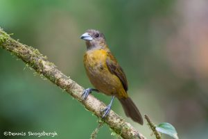 6148 Grayish Saltator (Saltatore coerulescens), Laguna del Lagarto, Costa Rica