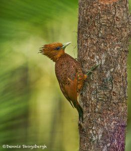 6149 Chestnut-colored Woodpecker (Celeus castaneus), Laguna del Lagarto, Costa Rica
