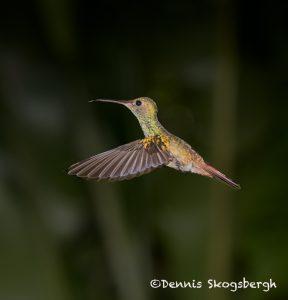 6151 Rufous-tailed Hummingbird (Amazilia tzacatl), Laguna del Lagarto Lodge, Costa Rica