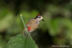 6154 Black-cheeked Woodpecker (Melanerpes pucherani), Laguna del Lagarto, Costa Rica