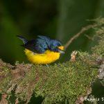6155 Yellow-throated Euphonia (Euphonia hirundinacea), Laguna del Lagarto, Costa Rica