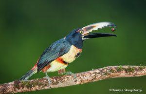 6157 Collared Aracari (Pteroglossus torquatu), Laguna del Lagarto, Costa Rica