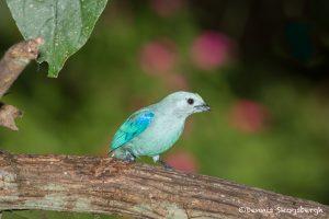 6159 Blue-gray Tanager (Thraupis episcopus), Laguna del Lagarto, Costa Rica