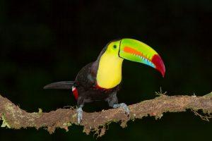 6161 Keel-billed Toucan (Ramphastos sulfuratus), Laguna del Lagarto Lodge, Costa Rica