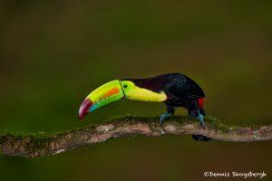 6162 Keel-billed Toucan (Ramphastos sulfuratus), Laguna del Lagarto Lodge, Costa Rica