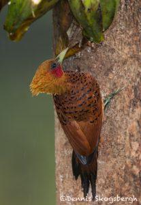 6163 Chestnut-colored Woodpecker (Celeus castaneus), Laguna del Lagarto, Costa Rica