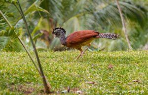 6165 Female Great Curassow (Crax rubra), Laguna del Lagarto Lodge, Costa Rica