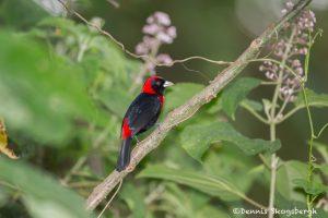 6170 Crimson-collared Tanager (Ramphocelus sanguinolentus), Arenal Oasis Lodge, Costa Rica