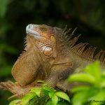 6179 Iguana, Costa Rica