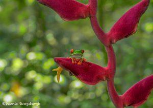 6181 Red-eyed Green Tree Frog (Agalychnis callidryas), Selva Verde Lodge, Costa Rica