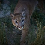 7284 Mountain Lion (Puma concolor), Sonoran Desert, Southern Arizona