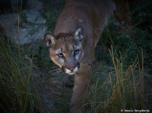 7284 Mountain Lion (Puma concolor), Sonoran Desert, Southern Arizona