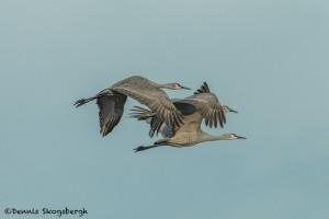 4047 Sandhill Cranes (Grus canadensis), Bosque del Apache NWR, New Mexico
