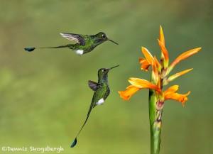 4621 Booted Racket-tailed Hummingbirds (Ocreatus underwoodii), Ecuador