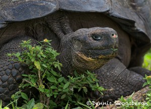 5292 Galapagos Giant Tortise, Santa Cruz, Galapagos Islands
