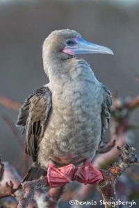 5293 Red-footed Booby (Sula sula) Genovesa Island, Galapagos