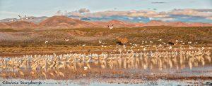 5639 Morning, Bosque del Apache NWR, New Mexico