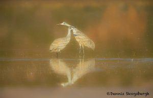 5641 Sunset, Sandhill Cranes (Grus canadensis), Bosque del Apache NWR, New Mexico