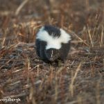 5645 Skunk, Bosque del Apache NWR, New Mexico