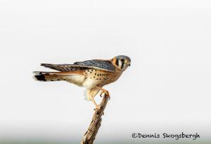 5690 Male American Kestrel (Falco sparverius), Bosque del Apache NWR, New Mexico