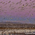 5697 Morning Fly-out, Bosque del Apache NWR, New Mexico