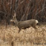 5699 White-tailed Deer, Bosque del Apache NWR, New Mexico