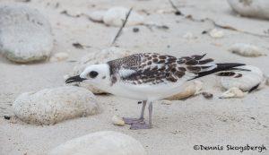 6184 Juvenile Swallow-tailed Gull (Creagrus furcatus), South Plaza Island, Galapagos