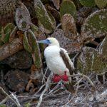 6187 Red-footed Booby (Sula sula), Genovesa Island, Galapagos