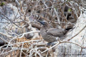 6188 Immature Red-footed Booby (Sula sula), Genovesa Island, Galapagos