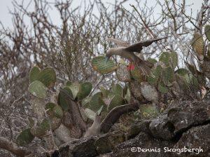 6190 Red-footed Booby (Sula sula), Genovesa Island, Galapagos