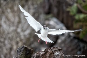 6191 Swallow-tailed Gull (Creagrus furcatus), South Plaza Island, Galapagos